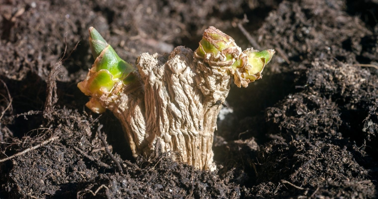 How To Grow Ginger Indoors Everything You Need To Know
